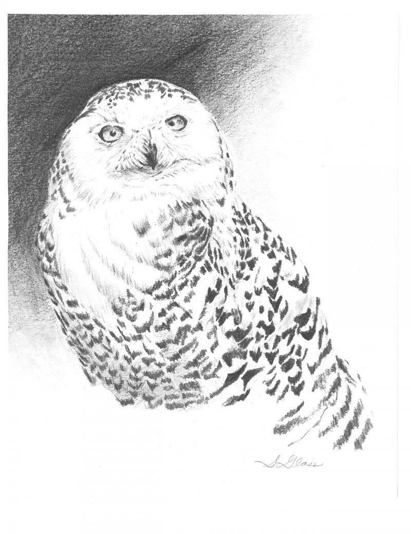 Snowy Owl Graphite Drawing by Sarah Marie Glass