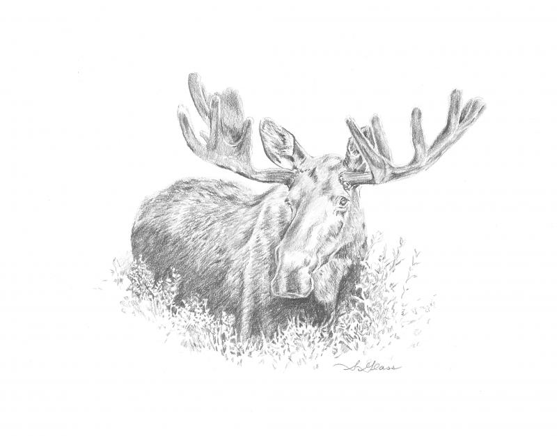 Moose Graphite Drawing by Sarah Marie Glass